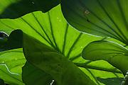 Palm fronds, Osa peninsula, Costa Rica.