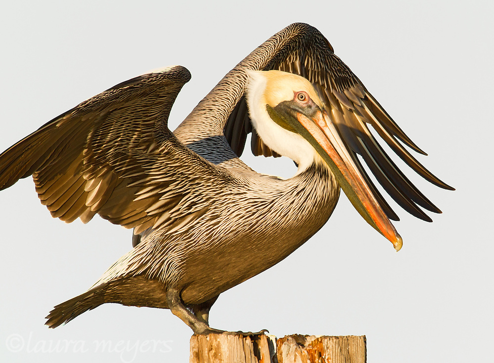 Brown Pelican on Ft Myers Beach Florida