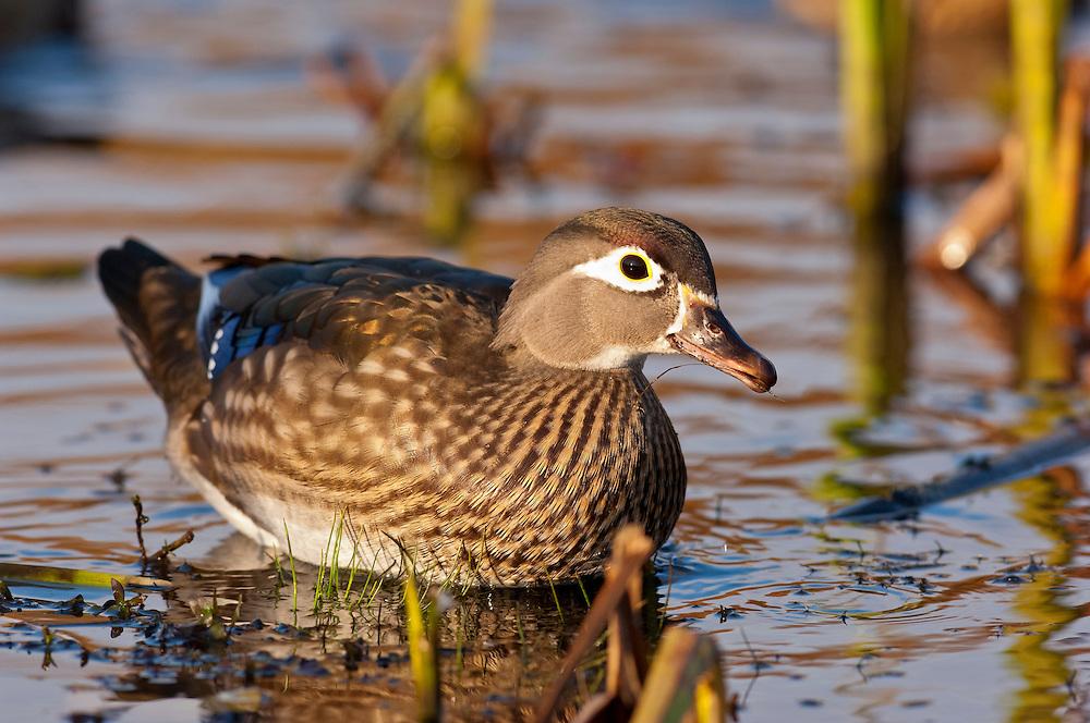 Wood Duck, Aix sponsa, female, Lake County, Ohio
