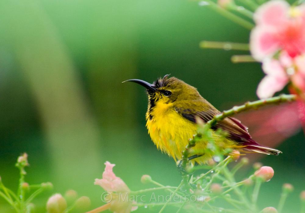 An immature male Olive-backed Sunbird, Cinnyris jugularis, Sabah, Malaysia..