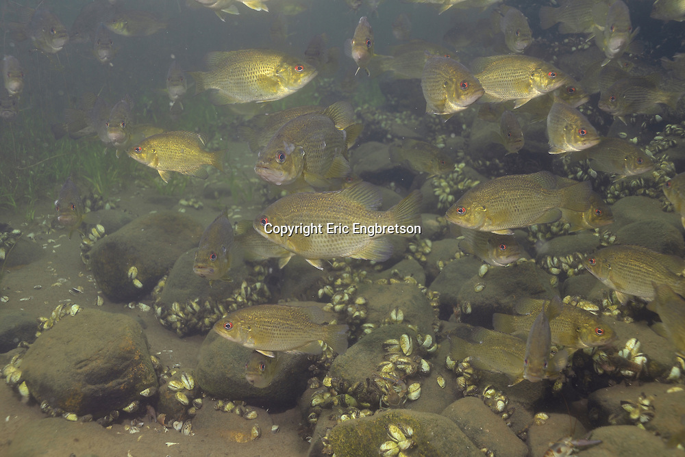 School of Rock Bass<br /> <br /> Engbretson Underwater Photography