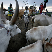 Panthar Machar, a 12-year-old catlle hearder, ties up one of his famlies cows as the sun goes down over cattle camp. Panthar, a Dinka, lives in south Sudan, a poor isolated area home to the Dinka --  the impossibly tall and rugged pastoralists who after suffering 50 years of war are finally witnessing peace, development, and change.