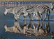 Zebras in Ngorongoro Crater, Tanzania, drinking.