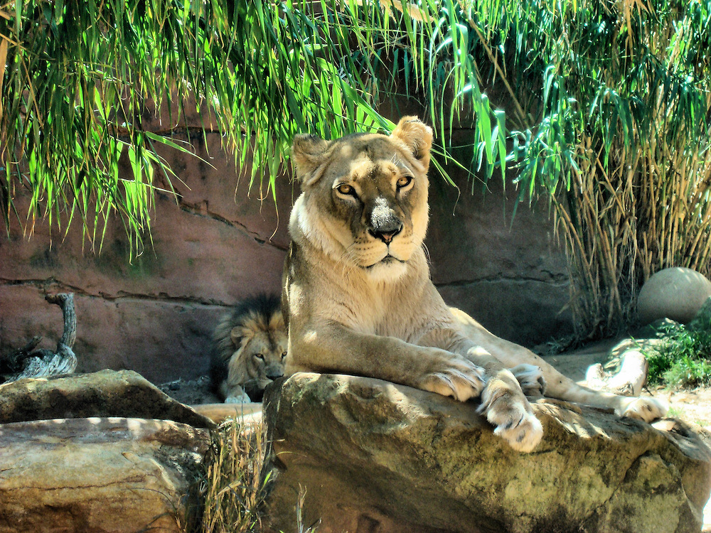 Female African Lioness with Male in Background at Taronga Zoo in Sydney, Australia<br /> This female African lioness at rest is named Kuchani and the male lion behind her is Jambo, whose nickname is Bruiser. They are taking a break from their two active cubs, Johari and Asali. They are four reasons to visit the Taronga Zoo in Australia. 4,000 more reasons are the other animals within the 50 acres complex plus the spectacular view of Sydney Harbour.