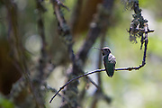 An Anna's Hummingbird guards his territory.