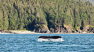 Humpback Whale (Megaptera novaeangliae) diving in Favorite Channel in Southeast Alaska. Summer. Evening.