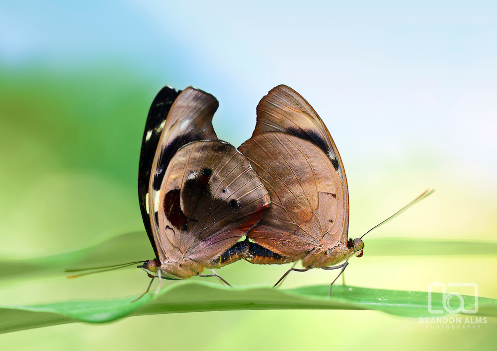 A pair of mating butterflies on a leaf.