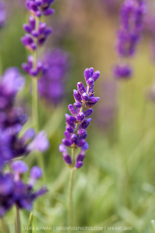 'Hidcote' English lavender (Lavandula angustifolia 'Hidcote Blue')