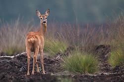 Ree achterom kijkend in veengebied; Roe deer looking back in Moor .