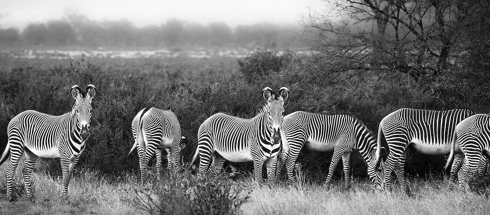 Grevy's zebra graze in Samburu, Kenya
