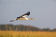 Woodstork Gliding over marsh