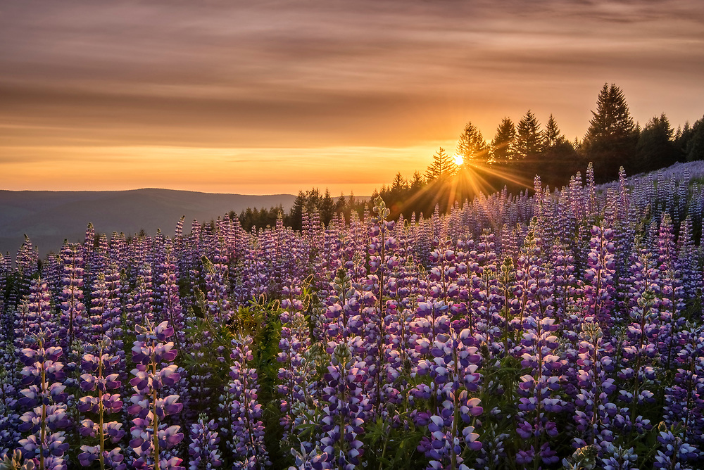 Lupine at Dolason Prairie, Redwoods State and National Parks, California.