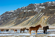 Herd of Icelandic ponies at Huammur in the lee of Eyjafjallajokul icecap in Thorskmork Valley, Katla Geopark, South Iceland