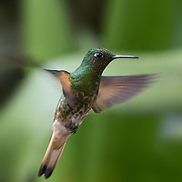 Boissonneaua flavescens,  Ecuador