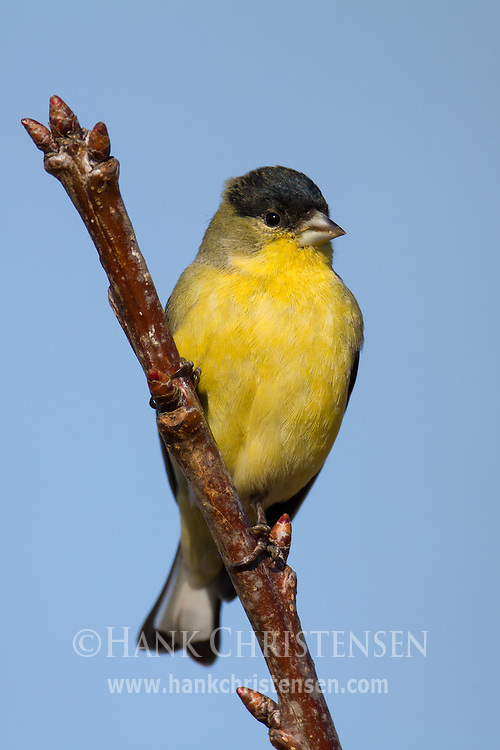 A lesser goldfinch perches on a narrow branch at the top of a cherry tree
