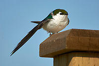 Violet-green Swallow (Tachycineta thalassina), , British Columbia, Canada
