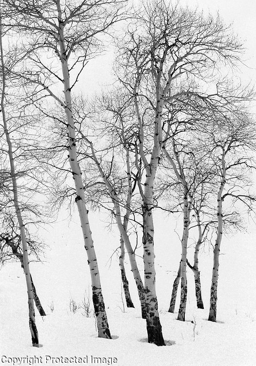 New England birches in the winter.