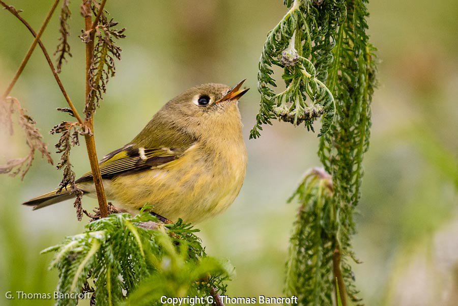 The ruby-crowned kinglet flitted through the weeds at ground level looking for small morsels to eat among the frost wilted leaves.