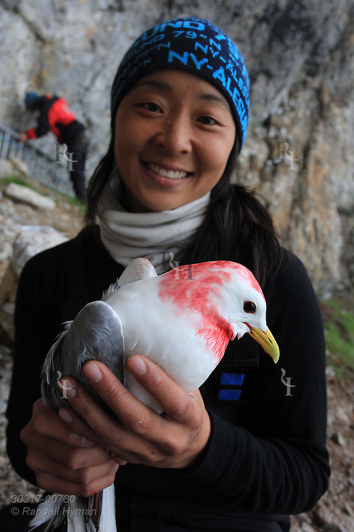 Grad student Solveig Nilsen holds kittiwake after applying temporary red marking to its head to ensure it is not recaptured during weeks of field research at Blomstrand island; Kongsfjorden, Svalbard.