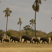 Elephants Mbiza Lala lala palms in background
