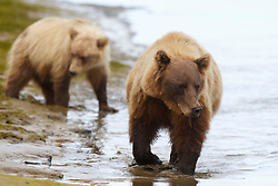 North American brown bear / coastal grizzly bear (Ursus arctos horribilis) sow fishes in a creek with her cub, Lake Clark National Park, Alaska, United States of America