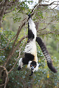 Black And White Ruffed Lemur <br /> Varecia variegata variegata<br /> Madagascar, Africa