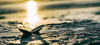 A clam shell is open to the rising sun on the tidal beach at Cordova Bay, Victoria, BC