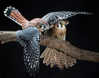 American Kestrels (Falco sparverius), Captive