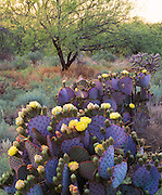 0182-1001B ~ Copyright: George H. H. Huey ~ Santa Rita prickly pear cactus [Opuntia violacea var. santa-rita] with flowers and buds at sunrise, with mesquite tree.  Sierrita Mountains.  Pima County, Arizona.