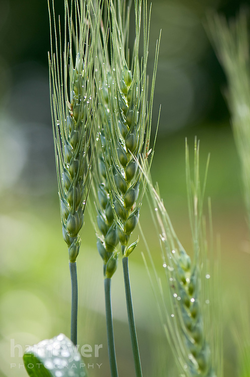 Spring Wheat seed head covered in morning dew.