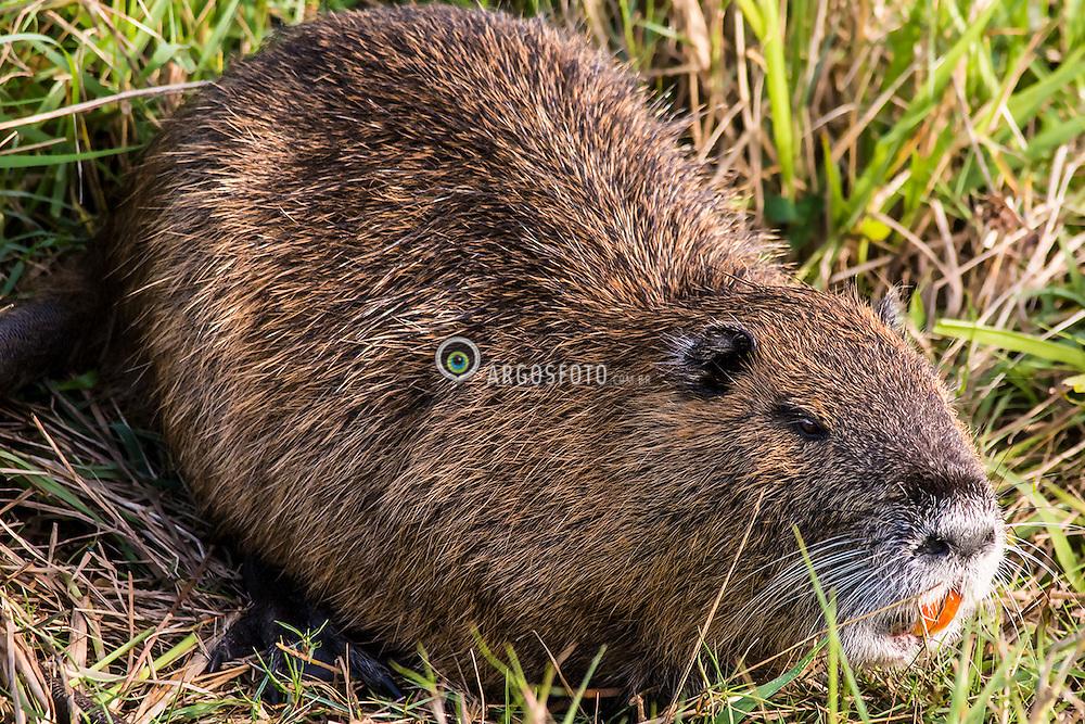 O ratao-do-banhado ( Myocastor coypus),  eh uma especie de roedor da familia Echimyidae. Ocorre no sul da America do Sul. Pelagem marrom-avermelhada, cauda longa e grossa, revestida por escamas e pelos ralos, vivendo em banhados, lagoas e rios./ The coypu, is a large, herbivorous, semiaquatic rodent and the only member of the family Myocastoridae. Originally native to subtropical and temperate South America. Tavares, Rio Grande do Sul. Ano 2013. Foto Jarbas Mattos/Argosfoto