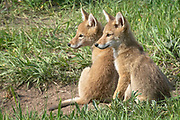 Two young coyote pups watch for their mom to return to the den in Rocky Mountain National Park, Colorado.