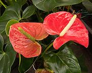 Anthurium species (Flamingo flower / Oilcloth Flower). Molbak's Garden & Home, Woodinville, Washington.