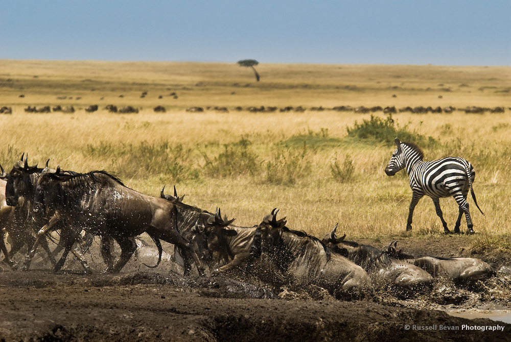 A herd of migrating Wildebeest after crossing the Mara River in the Masai Mara National Park, Kenya