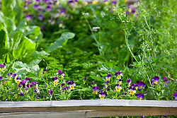 Viola with parsley and sorrel in the vegetable patch