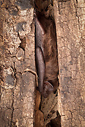 An evening bat (Nycticeius humeralis) tucked into the crevice of dead snag for a day roost. Bats commonly seek small, tight places to roost during the day. Central Texas.