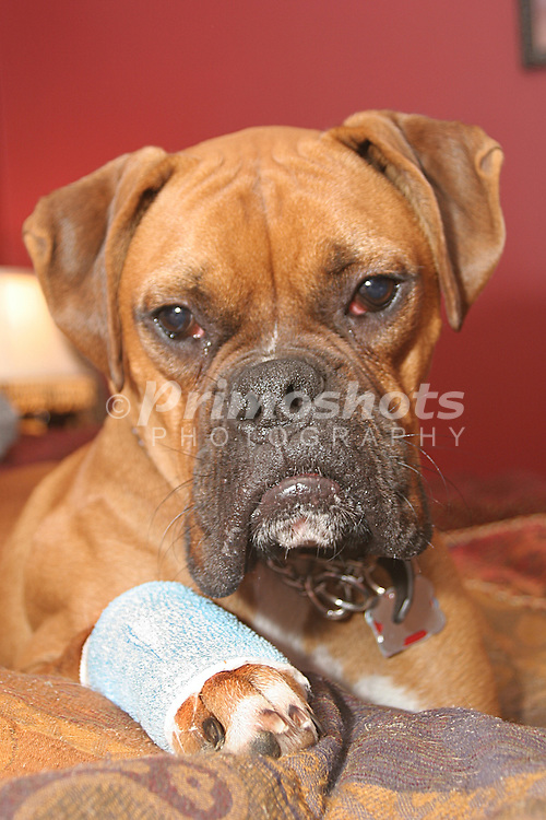 A sad, injured boxer puppy.