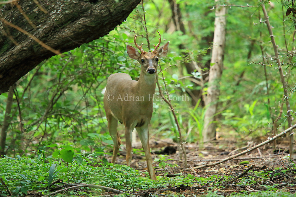 Male White-tailed deer (Odocoileus virginianus). Tropical dry forest, Santa Rosa National Park, Guanacaste, Costa Rica.