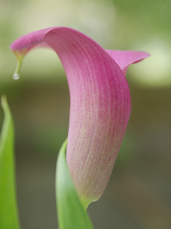 Tears of Joy -  Calla Lily - Washington