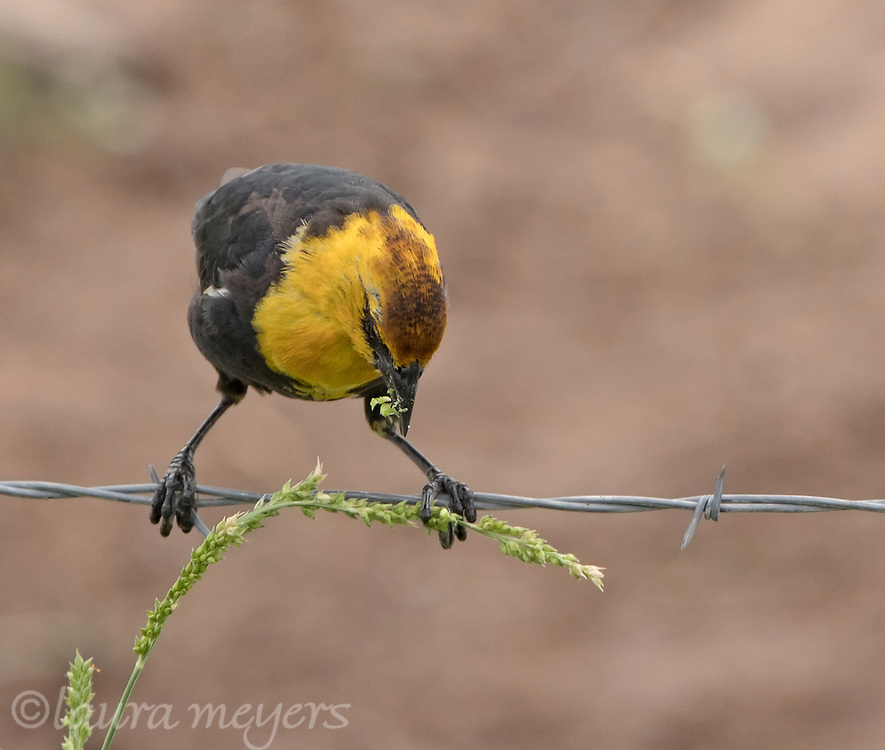 Yellow-headed Blackbird on wire eating seeds.