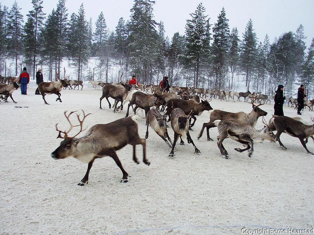 Reindrift i Nord-Trøndelag. Reindeer herding in Mid-Norway.