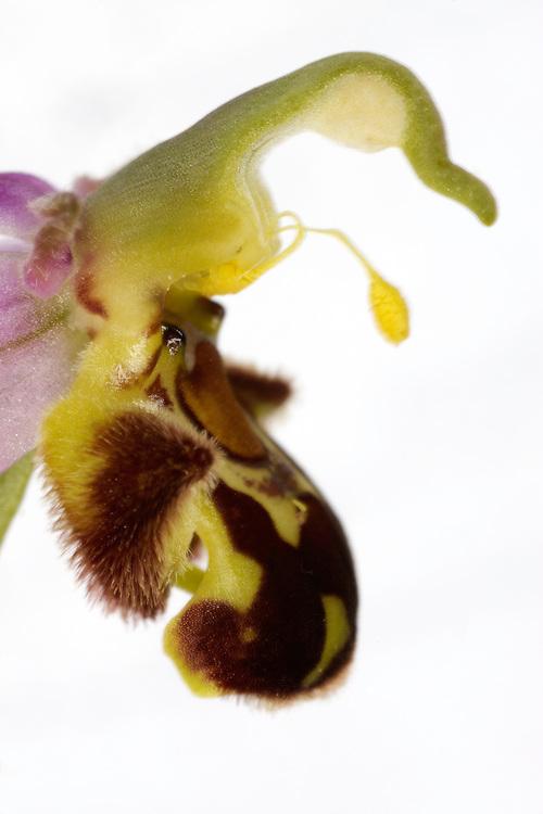 Bee orchid Ophrys apifera, Burren Ireland