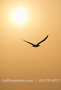 The silhouette of a brown booby in flight at sunrise in Panama Bay.