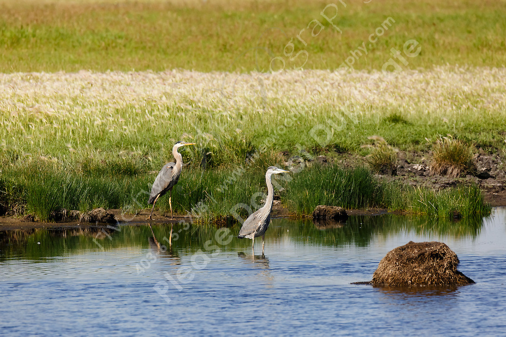 Great Blue Herons<br /> <br /> ©2015, Sean Phillips<br /> http://www.RiverwoodPhotography.com