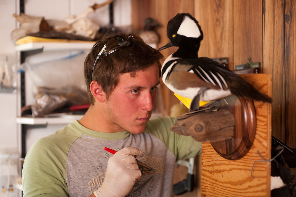 Taxidermist studying a duck mounted on the wall