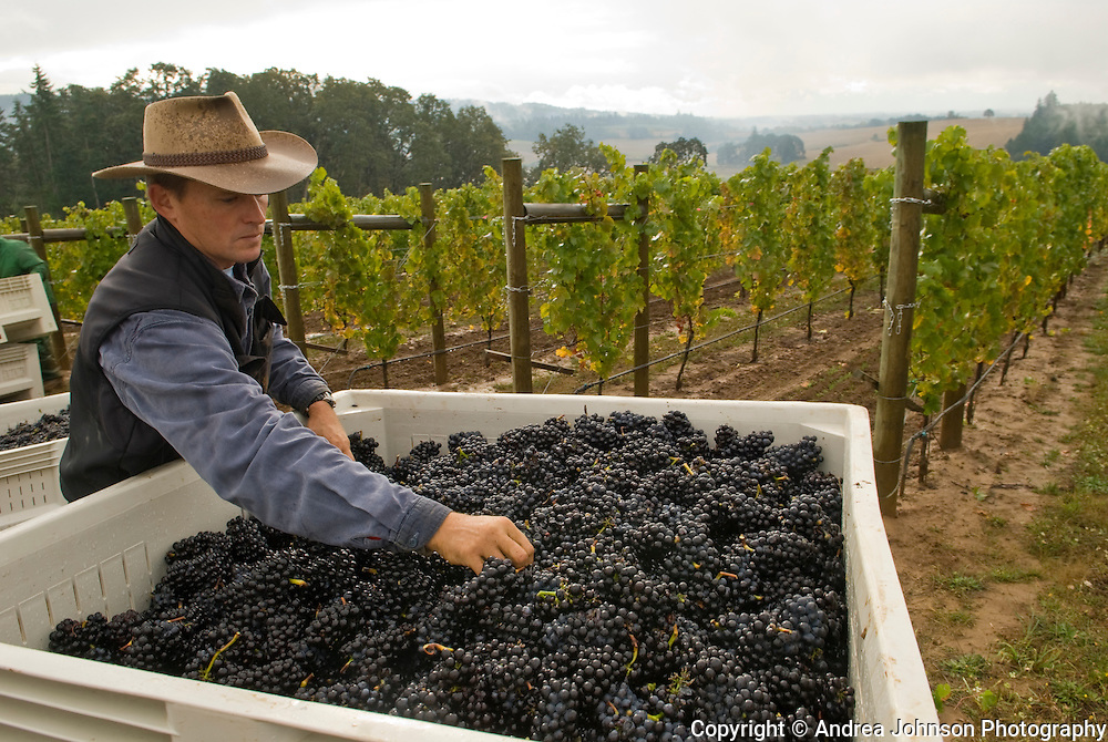 Ken Wright's vineyard manager, Mark Gould, and his dog, Bandit, check the quality and taste of freshly picked pinot noir