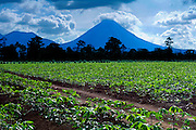 Arenal Volcano Rises Behind The Green Farms Of Yucca Plant, Costa Rica.