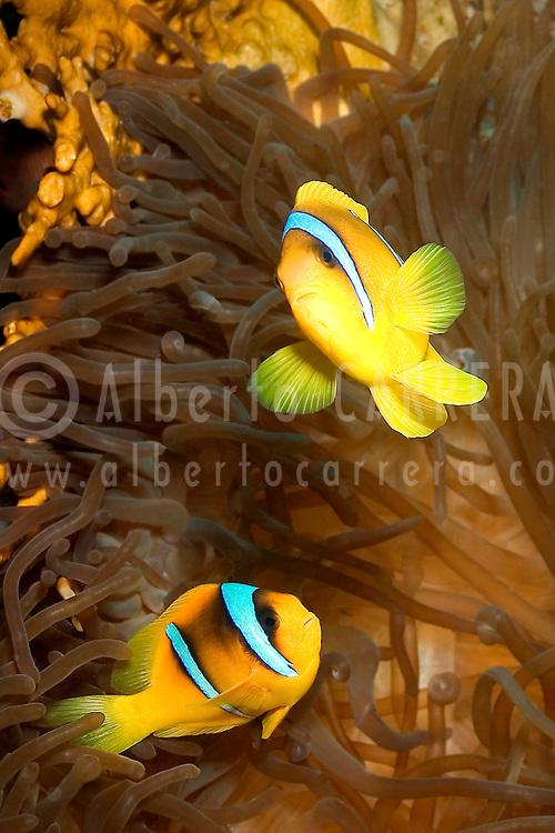 Alberto Carrera, Clownfish, Anemonefish, Red Sea, Egypt