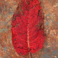 Single red leaf turning brown of Broad-leaved dock or Rumex obtusifolius lying on rusty metal