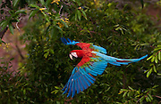Red and green macaw (Ara chloroptera) WILD<br /> PHOTOGRAPHED IN: Cerrado, Mato Grosso do Sul Province. BRAZIL.  South America. RANGE: Humid e Panama to Brazil, e Peru, ne Bolivia and Paraguay.